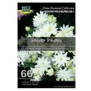 【66】 アキレギア ブルガリス クレメンタインシリーズ ホワイト